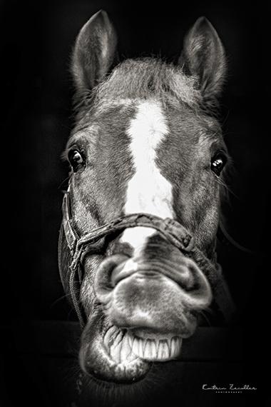 Tierporträt - das lächelnde Pferd