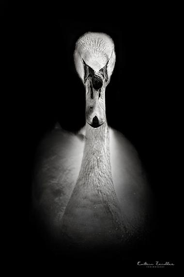 Tierporträt der weiße Schwan
