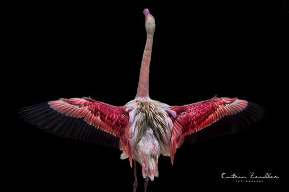 Tierfotografie Flamingo mit Reflexion