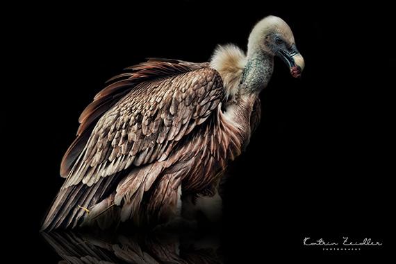Tierfotografie Geier mit Reflexion