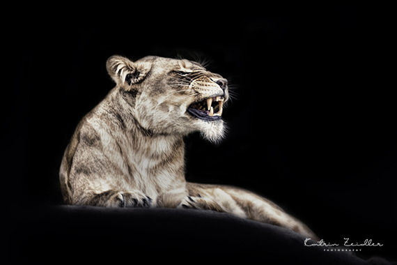 Tierfotografie Löwin