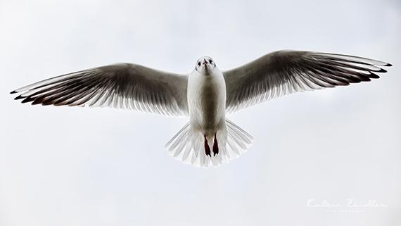 Tierfotografie Möwe im Flug Ostsee