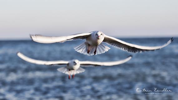 Tierporträt Möwen im Flug Ostsee
