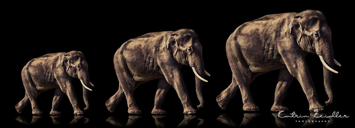 Tierfotografie - 3 Elefanten mit Reflexion
