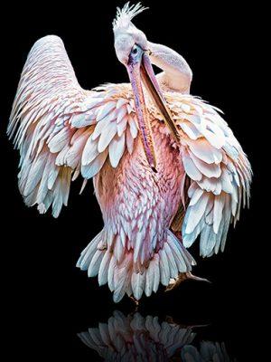 Tierporträt Pelikan