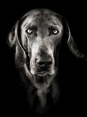 Hundeporträt - Weimaraner